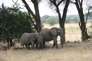 Elefanten im Ruaha-Nationalpark