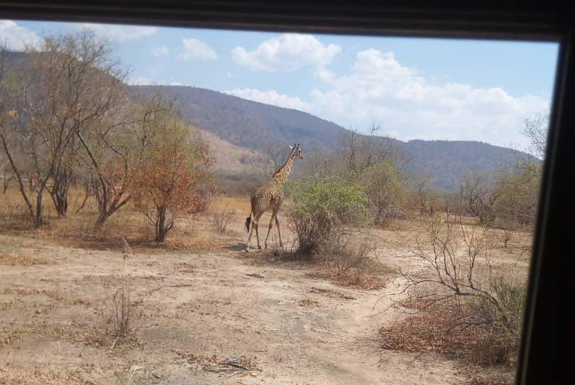 Blick aus dem Busfenster auf eine Giraffe.