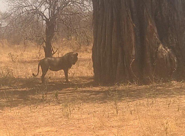 Auch Löwen sahen die Form III Schülerinnen im Ruaha Nationalpark.